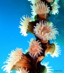 Whip Anemone