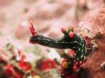 Posing Nudibranch