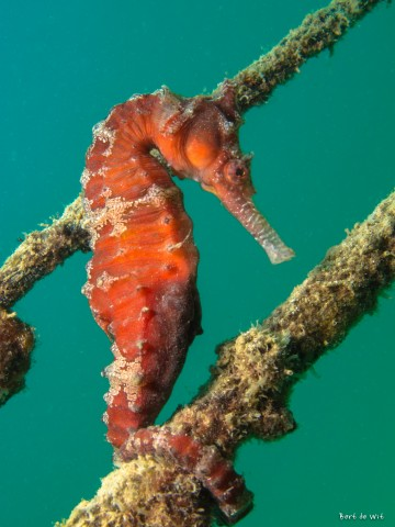 Seahorse showing me the ropes