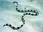 Banded Snake Eel