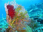 Fan with Feather Star
