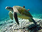 Large Green Turtle
