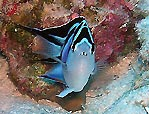 Ornate Angelfish - <i>Genicanthus bellus</i>