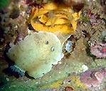 Nudibranchs laying eggs