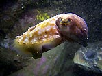 Turtle head and cuttlefish