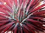Psychedelic Urchin
