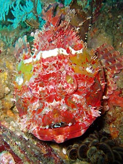 Raggy Scorpion Fish