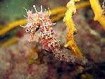 Short-head Seahorse