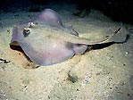 Common Stingaree