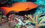 Coral Trout