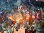 Red Gurnard Perch eating a crayfish