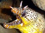 Dragon Moray Eel