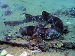 Cat Shark feeding under Flinders Pier
