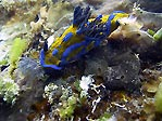 Nudibranch at Flinders Pier