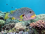 Diagonal-striped Sweetlips