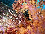 Lion in soft coral