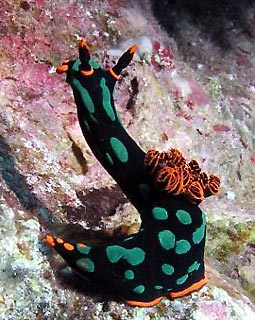Nudibranch at Mons' Pinnacle