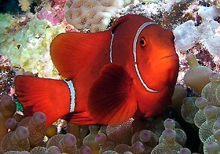 Spine-cheek Anemonefish