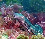Varied catshark