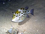 Western Smooth Boxfish