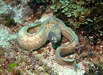 White-eyed Moray - Out & about