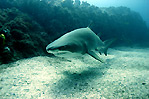 Grey Nurse Shark I