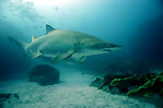Grey Nurse Shark III
