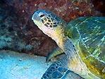 Flinders Turtle