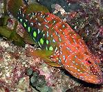 Harlequin Fish (Othos dentex)