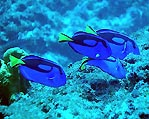 Indo-Pacific Blue Tang