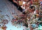 WA Crayfish: 'Mmmmm...