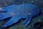 Western Blue Devil (Paraplesiops meleagris)