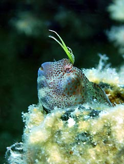 Blenny on the