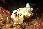 Nudibranch - Aphelodoris varia