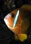 Anemonefish II