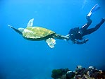 Turtle,diver,reef