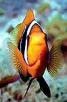 Agro Anemonefish