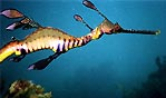 Another Weedy Seadragon