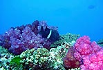 Damsel fish seeks photographers' attention