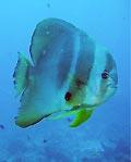 Tallfin Batfish