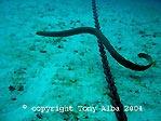 Olive Sea snake