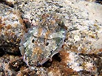 Cuttlefish I