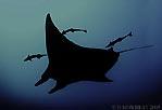 Manta Ray cruising