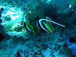 Fiji Bannerfish