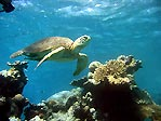 Green Turtle at Clam Garden