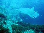 Grey Nurse Shark at Julian Rocks