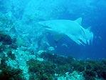 Grey Nurse Shark at Julian Rocks