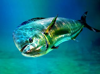 Dolphinfish in Splendour
