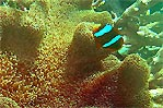Great Barrier Reef Anemone Fish with Anemone