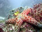 Leopard Starfish
